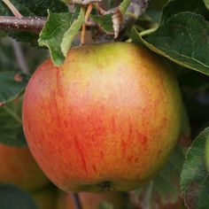 Cox`s Orange Pippin Apples.  What the perfect apple should look like and taste like :)