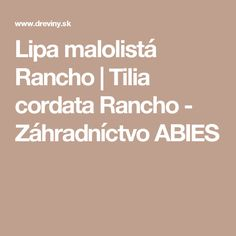 Lipa malolistá Rancho   Tilia cordata Rancho - Záhradníctvo ABIES