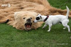 A dog investigates a bear-skin rug, which has been seized by police, and is displayed on the 'Partnership for Action Against Wildlife Crime' stand at the Chatsworth Country Fair in the grounds of Chatsworth House, near Bakewell in northern England on...