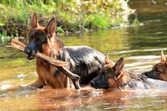German Shepherd dogs of Grunwald Haus