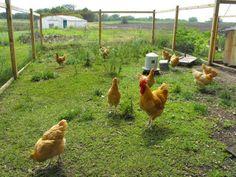 http://www.backyardchickens.com/forum/uploads/20922_dscf0053.jpg