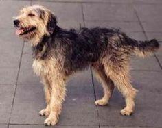 Stichelhaariger Bosnischer Laufhund – Barak  46-55cm, lebendig, tapfer, hartnäckig