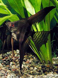 black lace angelfish | Tiga Penasihat PM Yang Perlu Dipecat