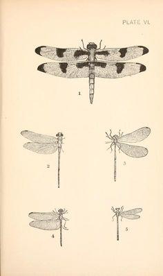 Dragon flies vs. mosquitoes. 1890