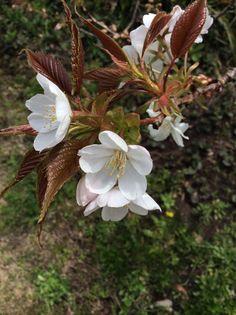 桜「千里香」 非常に濃い良い匂い