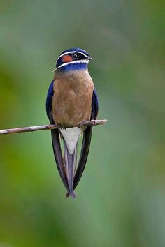 Kleine boomgierzwaluw - Whiskered Treeswift (Hemiprocne comata) in Brunei, Indonesia, Malaysia, Myanmar, the Philippines, Singapore and Thailand by Graeme Guy.