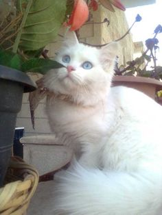The Turkish Angora Cat Pretty Cats, Beautiful Cats, Animals Beautiful, Cute Animals, Turkish Angora Cat, Angora Cats, Kittens Cutest, Cats And Kittens, Flea Shampoo For Cats