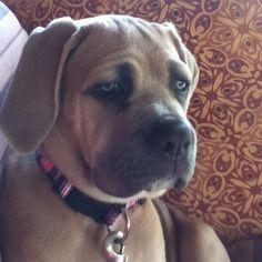 Tula, my Cane Corso puppy!