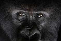 KAMPALA, Uganda — As the coronavirus infects more people around the world, conservationists are warning of the risk to another vulnerable species: Africa's endangered mountain gorilla. Primates, Mammals, Dian Fossey, Purple Sea Urchin, Farne Islands, Sea Snake, Vulnerable Species, Sloth Bear, Volcanoes