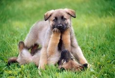 German shepherds have a wolf like physique and appearance.