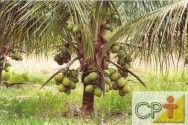 O coco orgânico dispensa adubações químicas e pulverizações com agrotóxicos  O cultivo orgânico de coco conta ainda com altas produtividades e melhores preços para os produtos no mercado #alcanceosucesso