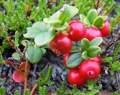 Wilde Preiselbeere 10 Samen -Vaccinium vitis-idaea- Rar Winterhart