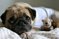 I'm not a dog person but I think I'd love a pug.
