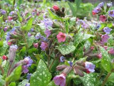 Mom's lungwort   By Linda Daley