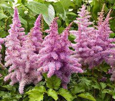 Astilbe Fireberry   White Flower Farm