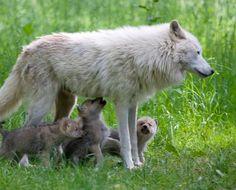 Artic Wolf Pups