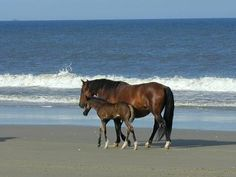 There are beautiful wild horses on the #OuterBanks! The wild Colonial Spanish Mustang is the state horse of North Carolina. http://www.elanvacations.com/
