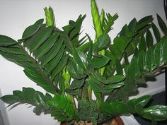 ZAMIOCULCAS- zamioculcas zamiifolia