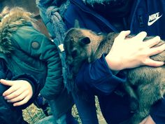 Bébé chèvre 🐐