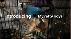 Full introduction of my ratty boys / Pets