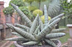 Sansevieria cylindrica var. patula 'Boncel' Flickr