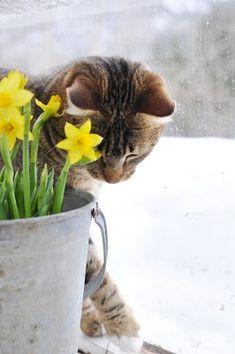 Spring  Cat & Daffodils
