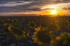 ITAP of Denver International Airport from a field of sunflowers http://ift.tt/2iwhEda