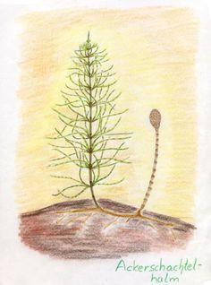 Waldorf ~ 5th grade ~ Botany ~ Horsetail ~ main lesson book