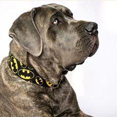 #mastiff #canecorso #batmancollar #batmandog #batmandogcollar #batmancollar #batmandog #martingaledogcollar #martingalecollar #bigdog #bigdogcollar