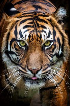 "llbwwb: ""(via / Tiger, Prague ZOO by Pavel Gröschl) "" Pet Tiger, Tiger Face, Bengal Tiger, Beautiful Cats, Animals Beautiful, Prague Zoo, Animals And Pets, Cute Animals, Wild Animals"