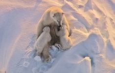 Bear Hug by BBC via dailymail.co.uk: A mother nurses her two cubs, caught on camera in a stunning aerial shot. Her milk reserves are running low as she has not eaten for five months whilst in the den. #Polar_Bears