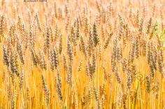 Vehnäpelto - elokuu kesä kullanvärinen maanviljely maanviljelys maaseutu pelto vehnä vilj vehnäpelto tähkä tähkät vihne vihneet viljapelto