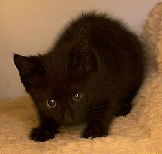 *ADOPTED* Lightfoot Female; 2 mos; A033857