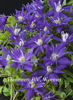 Clematis 'Lagoon' from Esveld Exotic Plants, Cactus Plants, Garden Plants, Clematis Plants, Clematis Vine, Rare Flowers, Beautiful Flowers, Outside Plants, Plant Guide