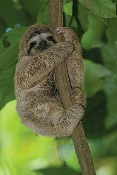 A sloth in the rainforests of Costa Rica. Tons of them in the rainforest. Zoo Animals, Cute Baby Animals, Funny Animals, Wild Animals, Cute Sloth Pictures, Animal Pictures, Sloth Photos, Primates, Mammals