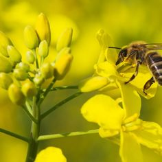 Pesticides Linked To Massive Bee Die Off -- Mini-extinction events were found to be three times more common in bees that foraged on pesticide-laced rapeseed crops than in those that didn't. #Bees #Beekeeping #Nature