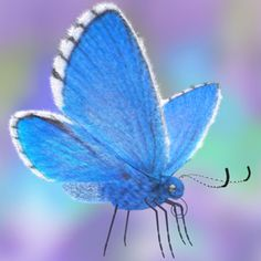 butterfly fur adonis blue 3d model
