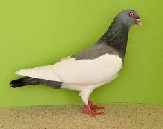 Nächstes Bild Pigeon Pictures, Pigeon Breeds, Palomar, Racing Pigeons, Beautiful Birds, Creatures, Bow Braid, Hens, Birds