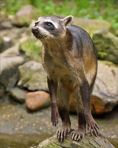 ˚Crab-eating Raccoon