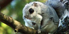 This is soooo cute! I love its huge eyes! Huge Eyes, Flying Squirrel, Helsinki, Stockholm, Rabbit, Cute, Animals, Bunny, Rabbits