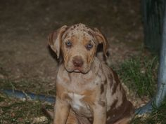 Waller's Freedom Kennels: Catahoula Bulldog pup