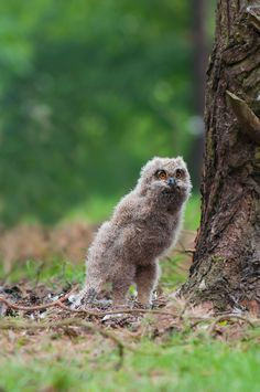 'Stretching' Eurasian Eagle Owlet, Netherlands | by Rob Janné