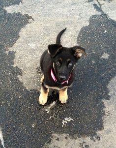 GSD Puppy-Lucy