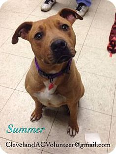 Cleveland, OH - Pit Bull Terrier Mix. Meet Summer-Euth Date 7/21, a dog for adoption. http://www.adoptapet.com/pet/11049256-cleveland-ohio-pit-bull-terrier-mix