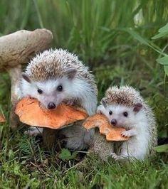 #hedgehog #hedgehogs #mushrooms #autumn #autumnmood #ősz #sün #süni #gomba