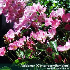 Valdemar (Klätterrosor/Ramblers)