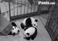 Live Panda Cam - On August 5, 2013, China Network Television (CCTV) unveiled round-the-clock online broadcasts of dozens of giant pandas eating, sleeping, wrestling and biting each other's feet at a research base in Sichuan Province.