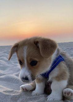 Cute Corgi, Corgi Dog, Cute Puppies, Dogs And Puppies, Cute Baby Animals, Funny Animals, Seaside Park, Cute Puppy Wallpaper, Cute Animal Photos