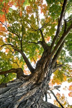 Ancient tree ... many Autumns have graced its leaves