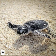 Mid week blues? Hang in there like this green turtle hatchling :) by wwf